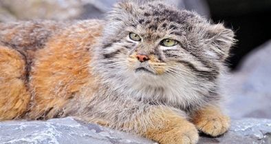 گربه پالاس ایرانی در معرض خطر انقراض است