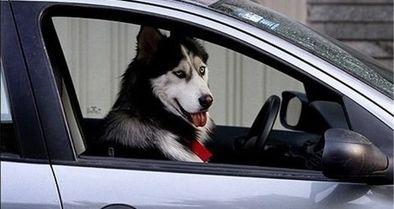 با سگ و هر حیوانی که در خودرو باشد برخورد میکنیم