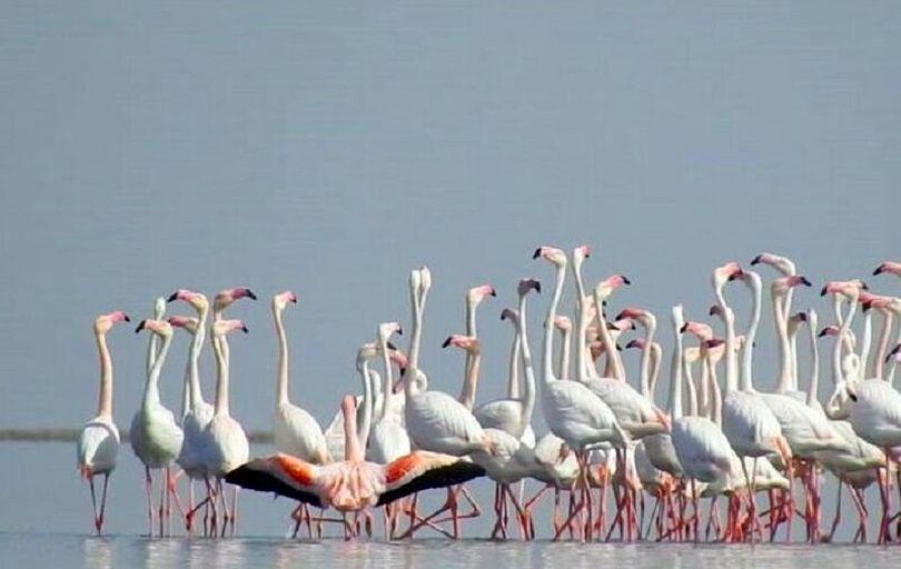 نجات فلامینگوهای گرفتار در دریاچه ارومیه