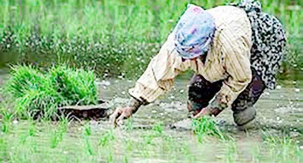 قد برنج  وارداتی آب رفت