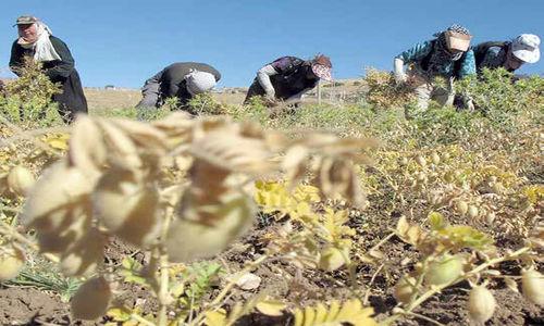 اکسیرخصوصیسازی، طلای کشت و صنعت مهاباد را مس کرد